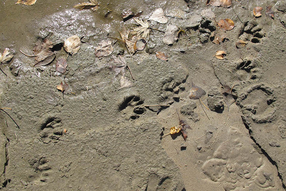 Tracks on a damp, sandy river bank.