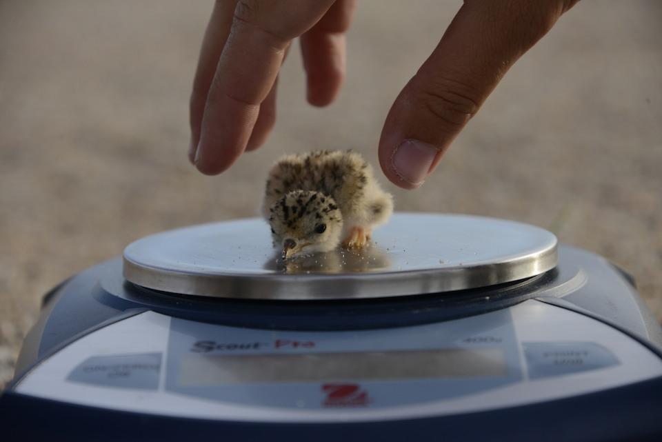 Biologists weigh an interior least tern chick as part of their population monitoring. (Michael Forsberg)