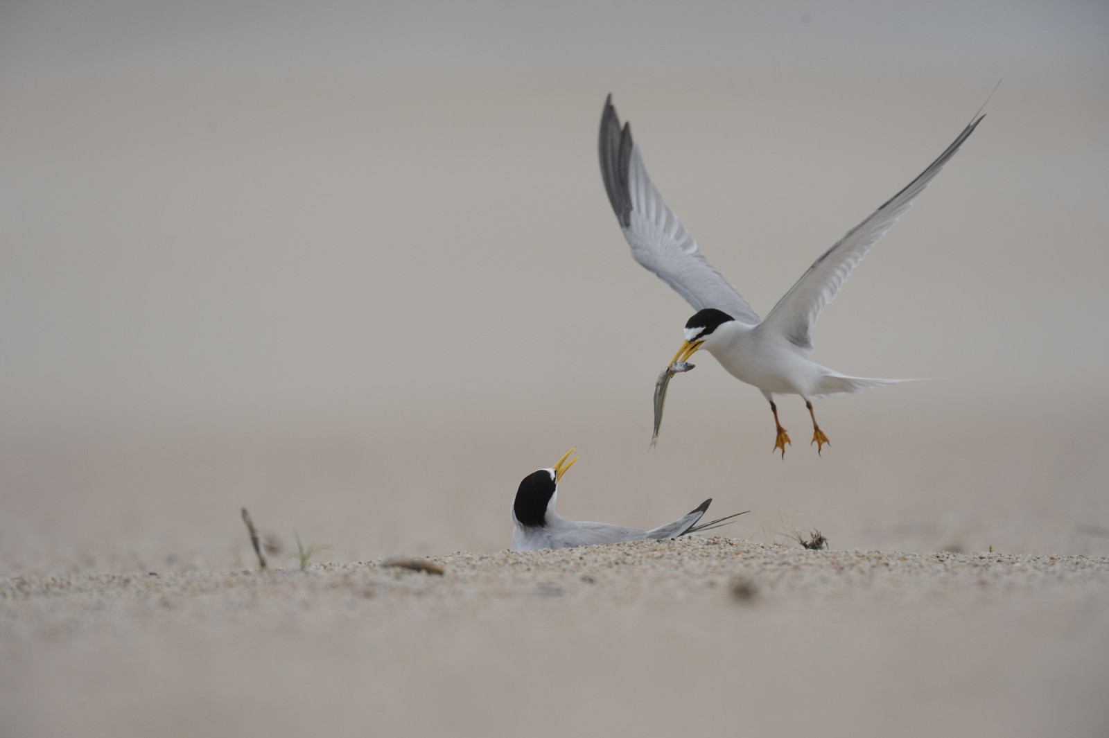 Least tern delivers a fish to its mate at its nest in the sand.