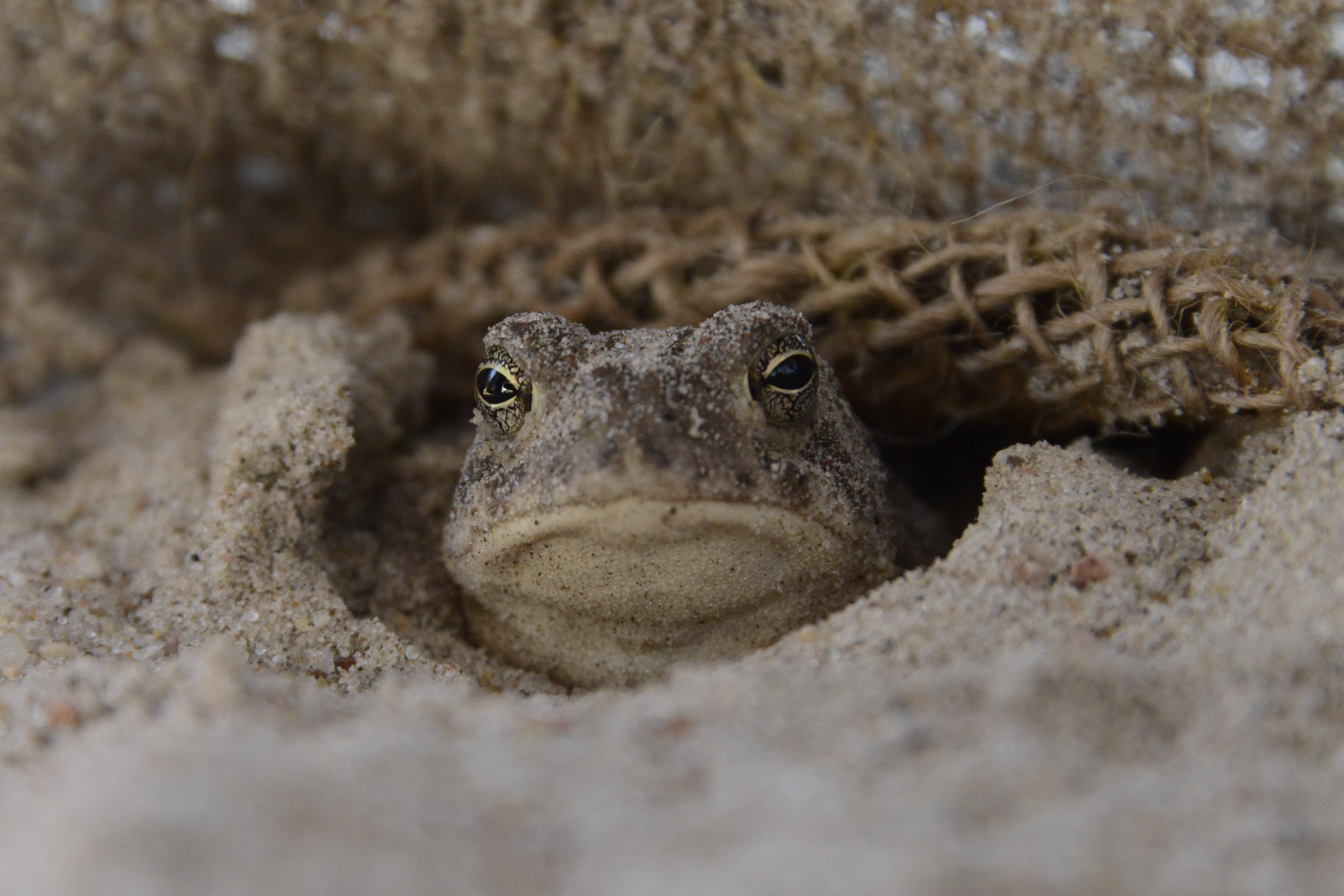 This small woodhouse toad was my constant companion during long vigils in the blind.