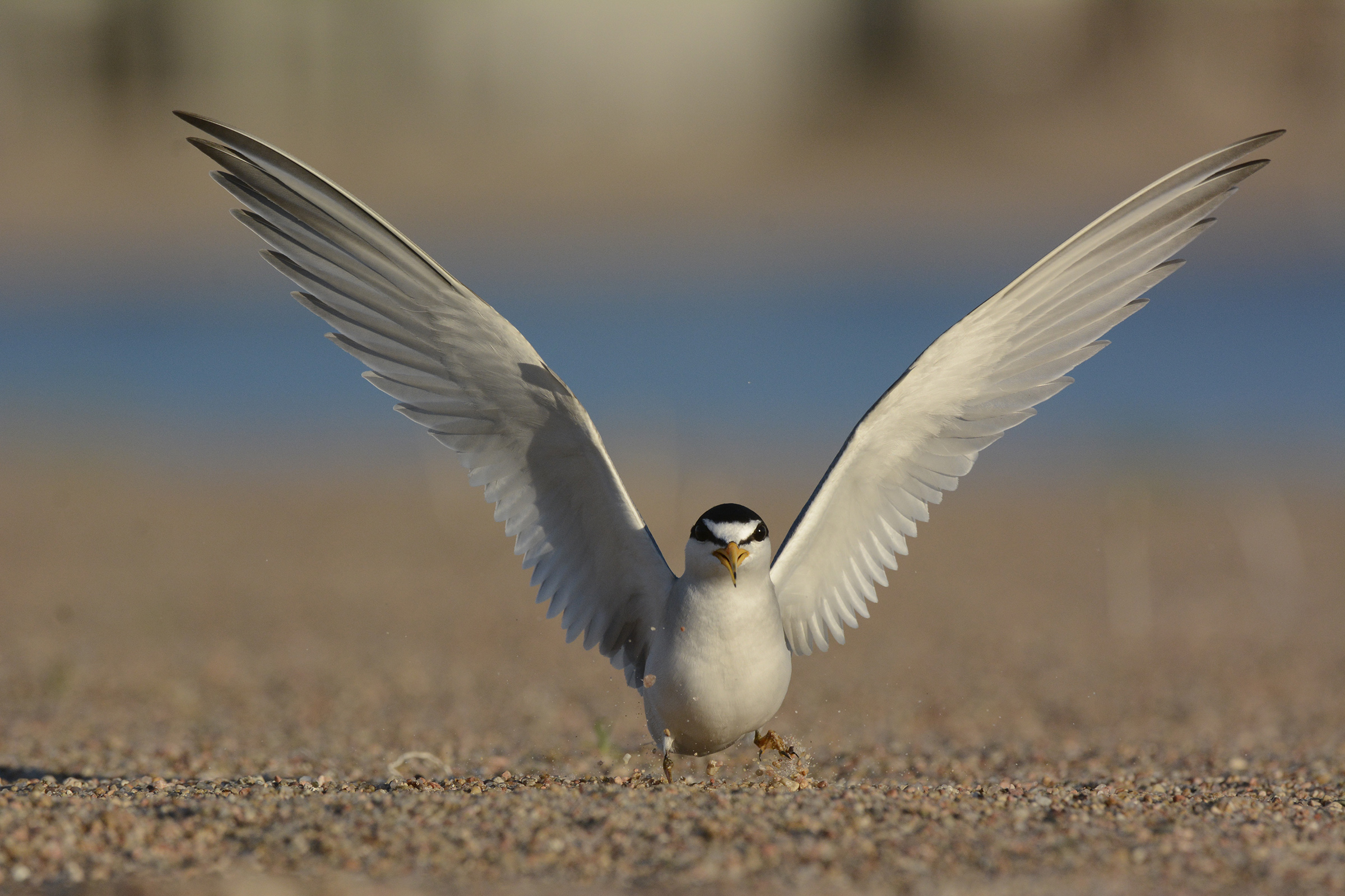 Adult tern lands on the sand near its nest.