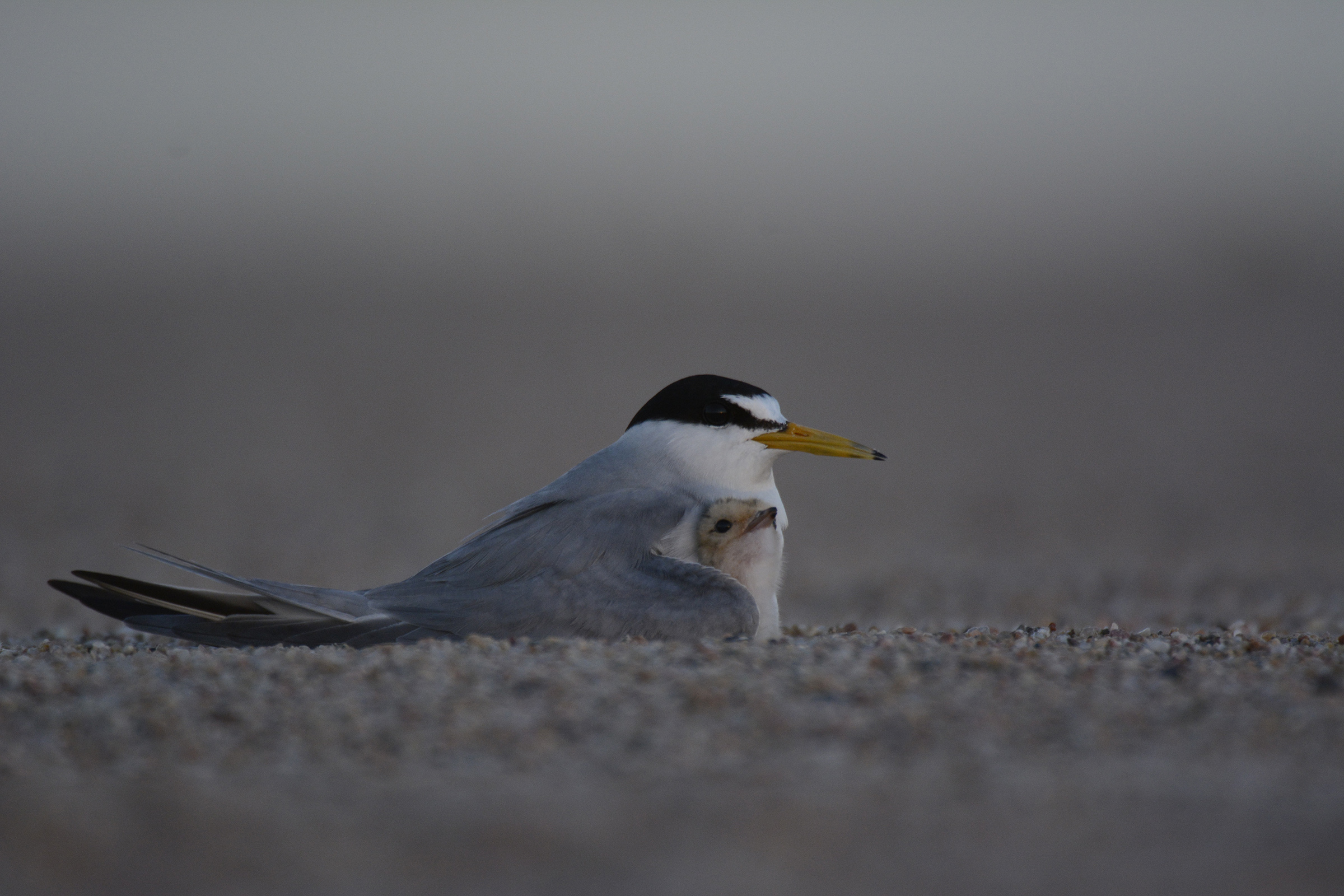 Mother tern shelters her day-old chick in the evening twilight.