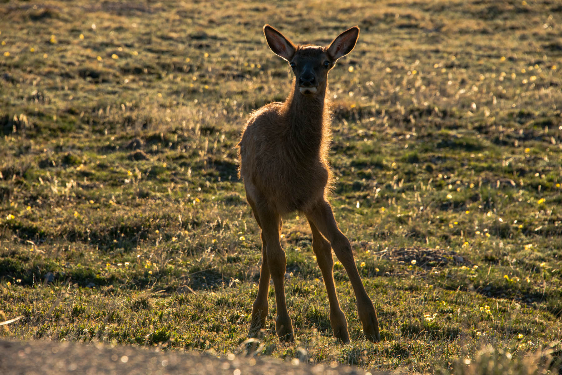 An elk calf stands on wobbly legs in the alpine tundra of Rocky Mountain National Park, Colorado.