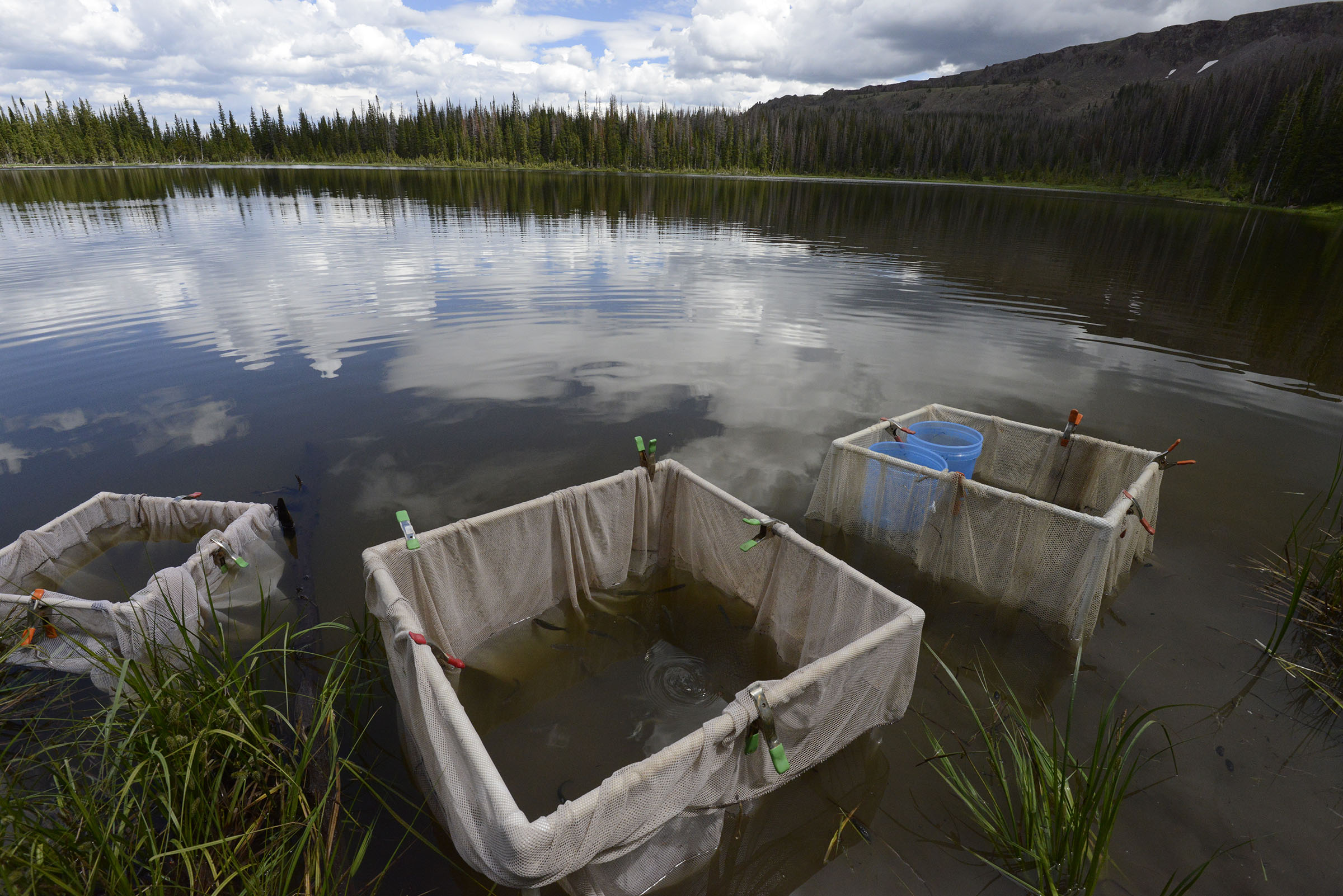 The first reintroduction of genetically pure greenback cutthroat trout fingerlings took place at Zimmerman Lake in August 2014. (Michael Forsberg)