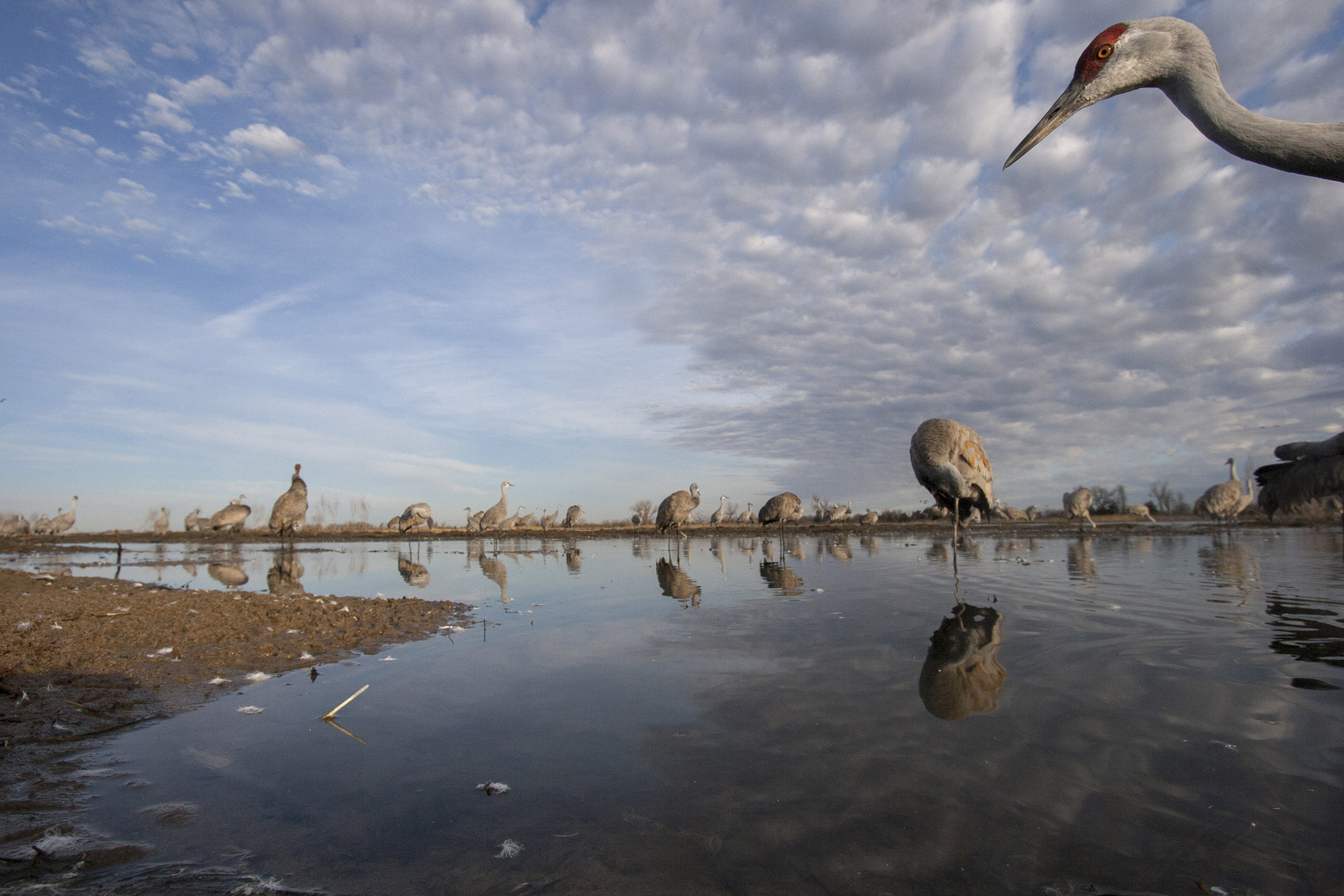 Sandhill cranes mingle on a mid-river sandbar just after sunrise before leaving the roost. (Michael Forsberg)