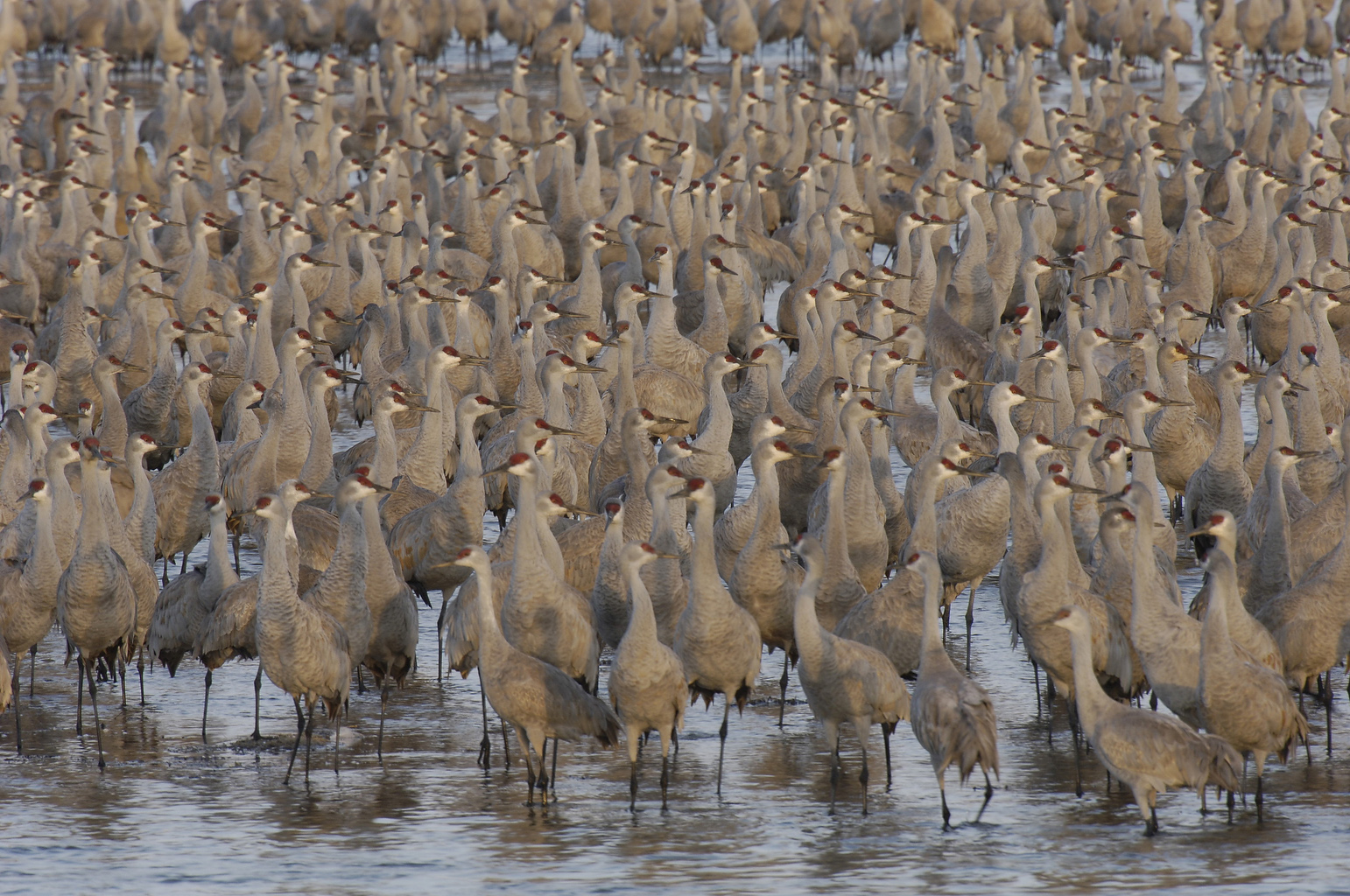 Sandhill cranes stand shoulder to shoulder on a river roost at first light. (Michael Forsberg)