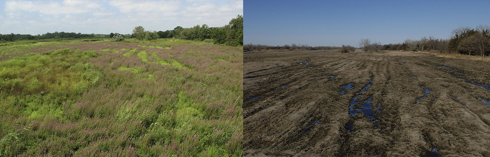 A dangerous beauty, purple loosestrife chokes the river channel east of Kearney. Several months later (right), the same view of the river channel after it has been mechanically cleared to knock back this invasive species. (Michael Forsberg)
