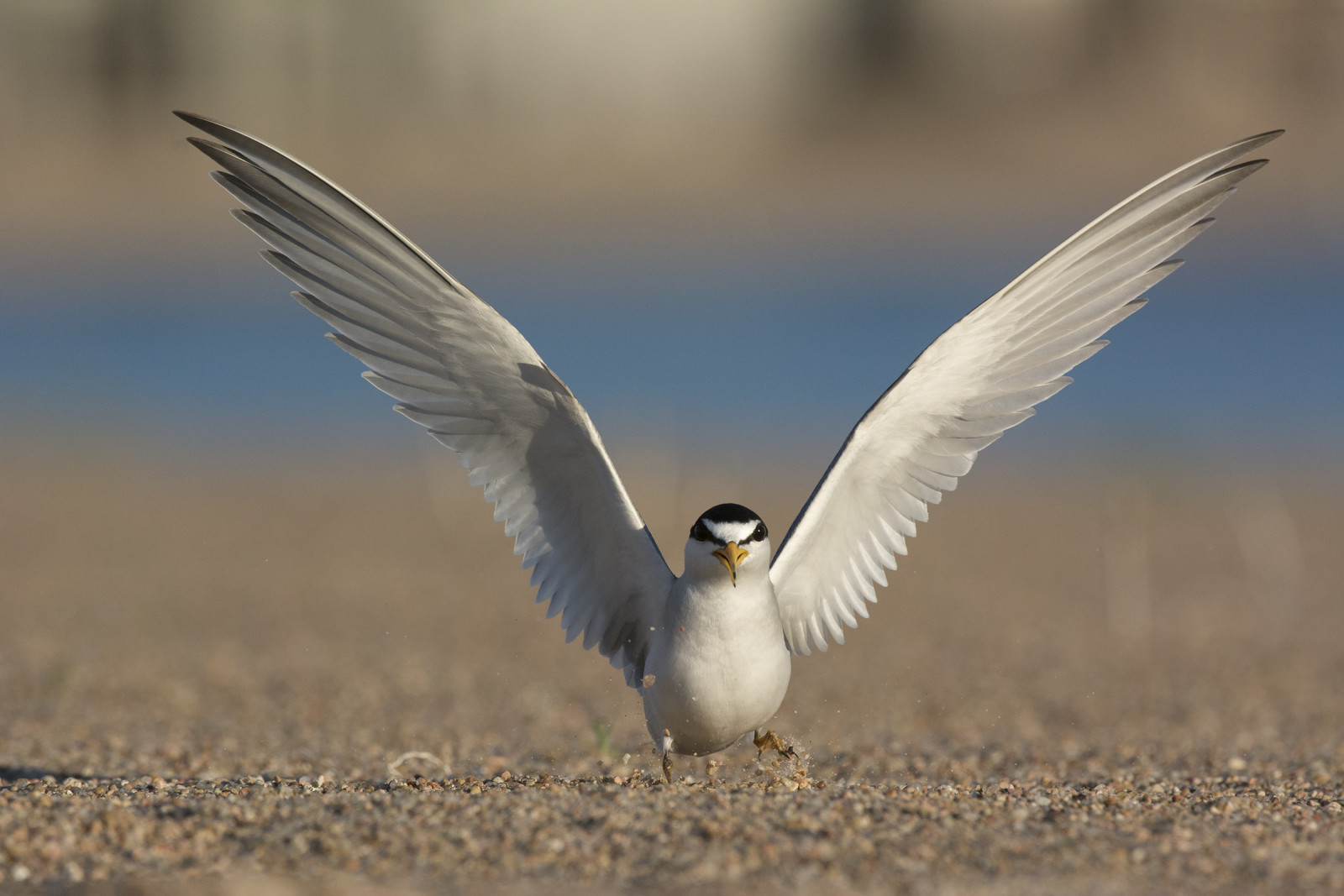 Adult interior least tern spreading its wings (Michael Forsberg).