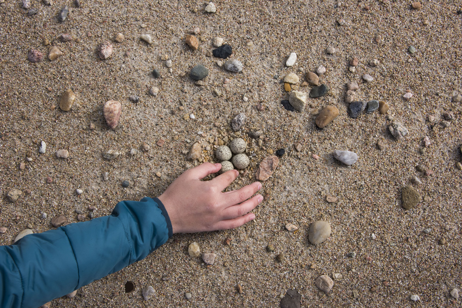 A biologist carefully places the piping plover egg back into its nest. This image shows how tiny these eggs when compared to a hand. (Michael Forsberg)