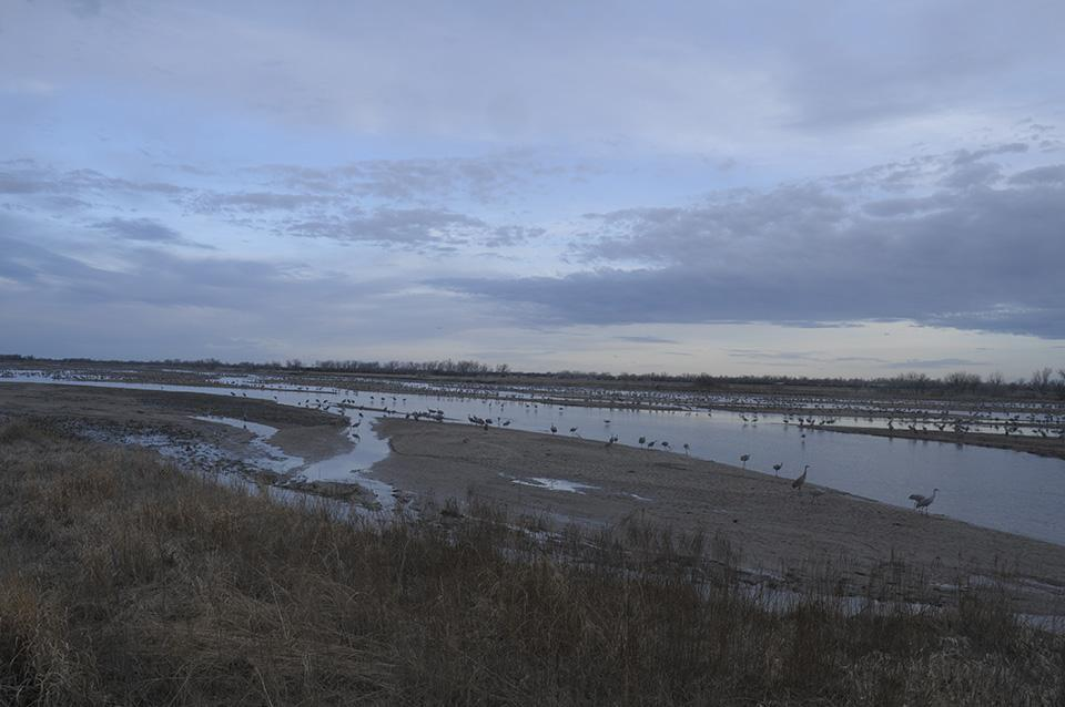 When water levels are low, the cranes spread out along the river, as more shallow waters and sandbars become available.