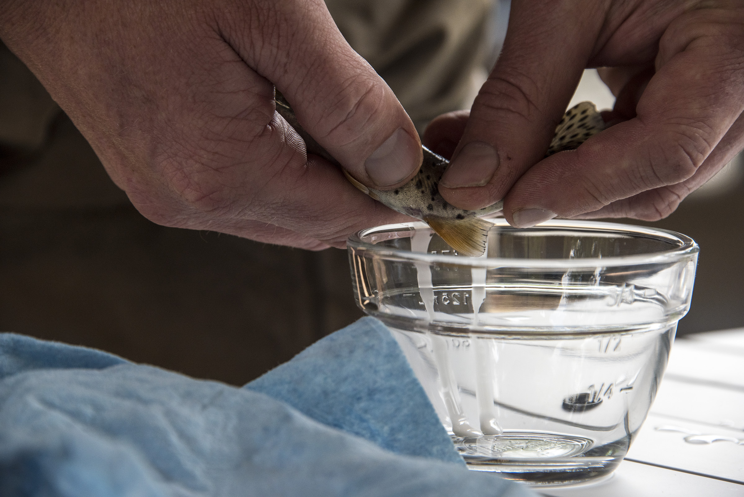 Milt extracted from a ripe male greenback cutthroat trout. (Mariah Lundgren)