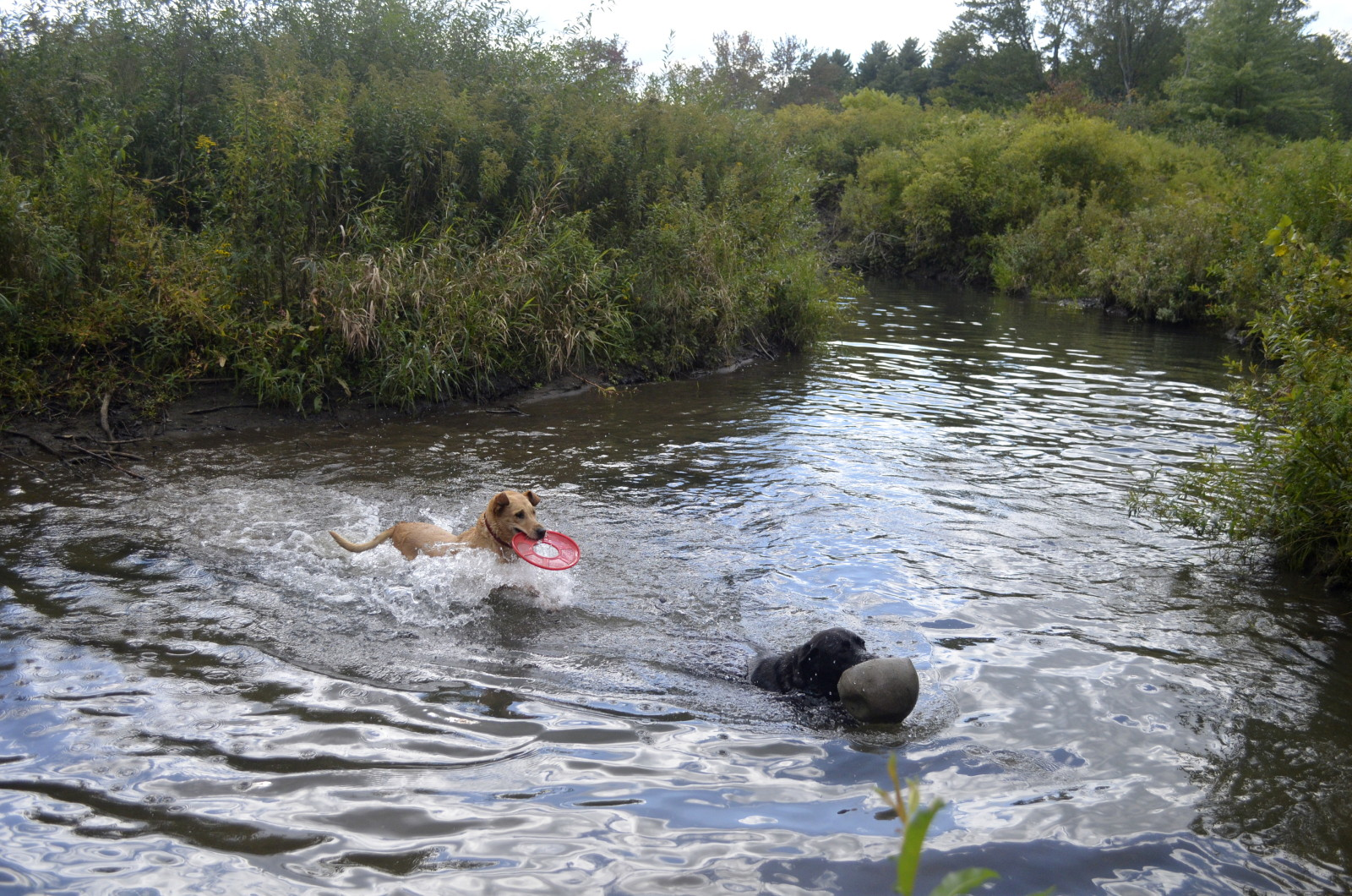 The river in my parent's backyard, now enjoyed by a new generation of dogs (Ubu & Willow). (Emma Brinley Buckley)