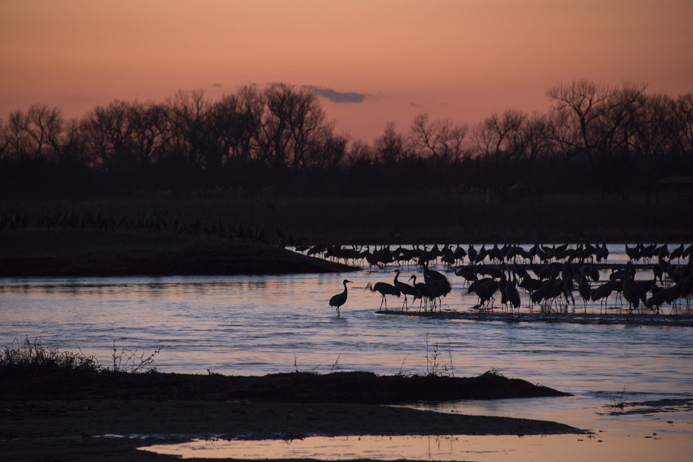 Sandhill crane sunrise on the central Platte River. (Peter Stegen)