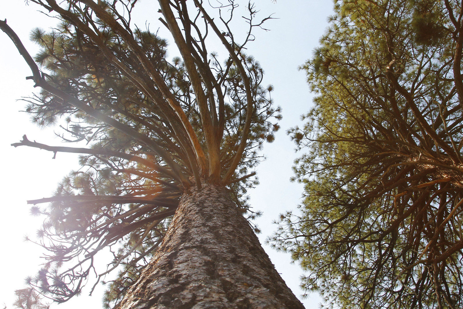 Looking skyward at the towering ponderosa pines in Sierra National Forest. (Cristina Woodworth)