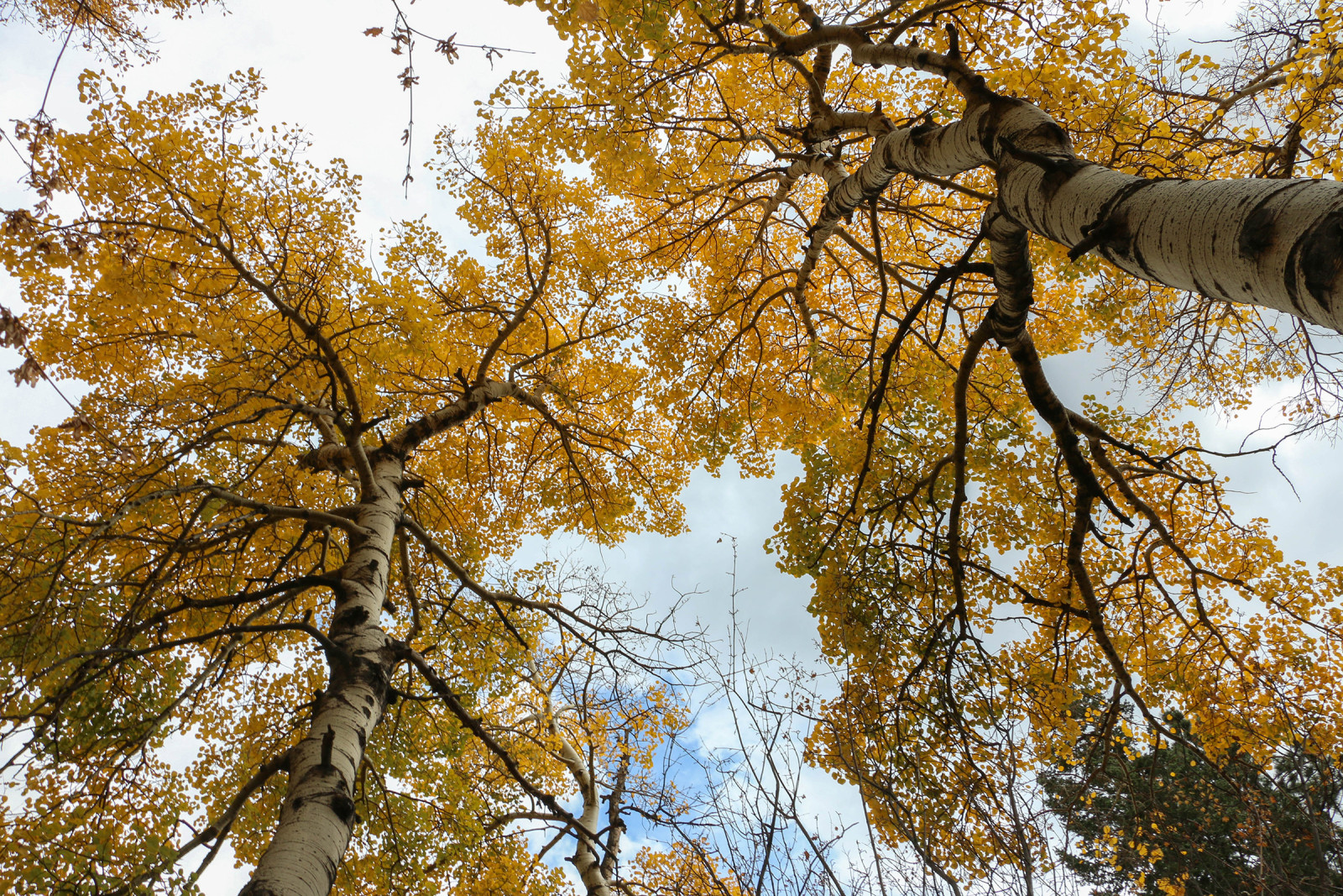 This grove of aspen had yet to lose its leaves. (Ethan Freese)