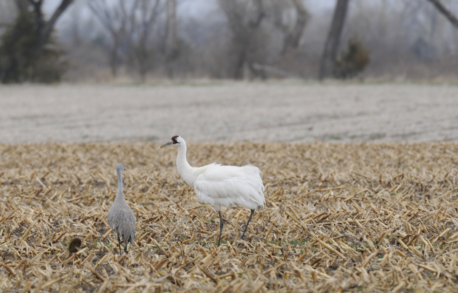 A whooping crane and sandhill crane forage in a cornfield near the central Platte River. (Michael Forsberg)