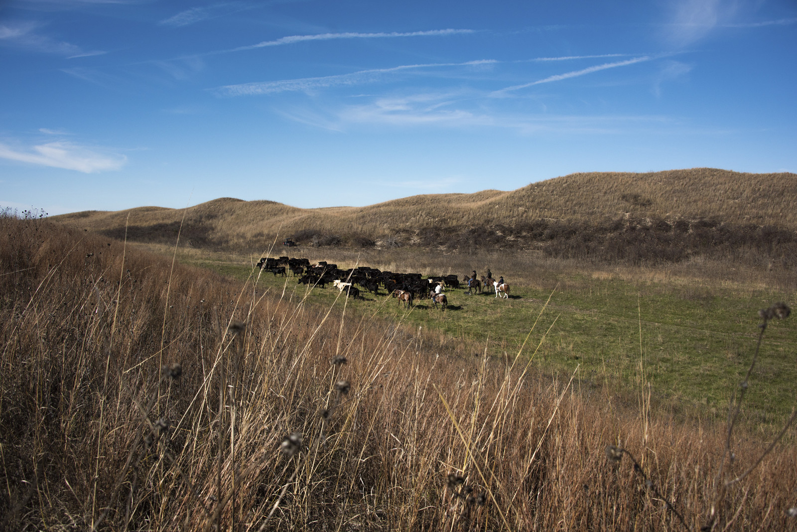 The Switzer family moving cattle through the Sandhills. (Mariah Lundgren)