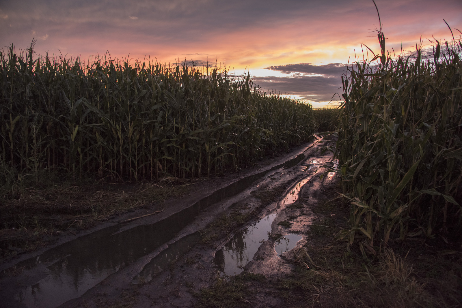 An irrigated cornfield in central Nebraska. (Mariah Lundgren)