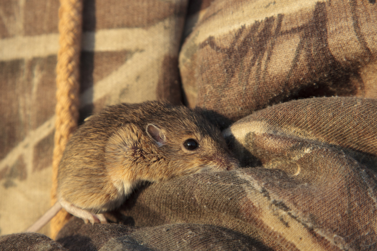 A plains pocket mouse nuzzles into Schrad's elbow after being measured. (Evan Barrientos)