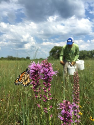 Monarchs are just a part of the biodiversity of Nebraska's prairies. (Photo courtesy of Prairie Plains Resource Institute.)