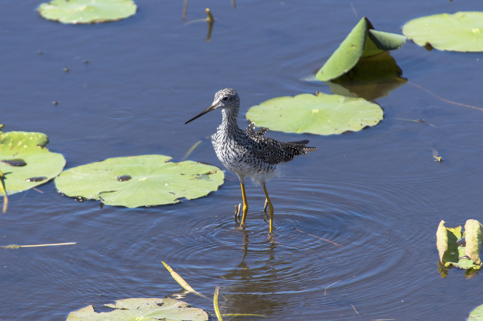 Lesser yellowlegs (Tringa melanoleuca) at Aransas National Wildlife Refuge, Texas. (Simon Tye)