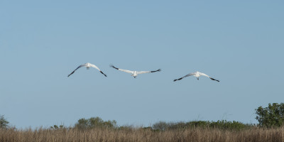 Whooping cranes (Grus americana) near Aransas National Wildlife Refuge, Texas (Simon Tye)