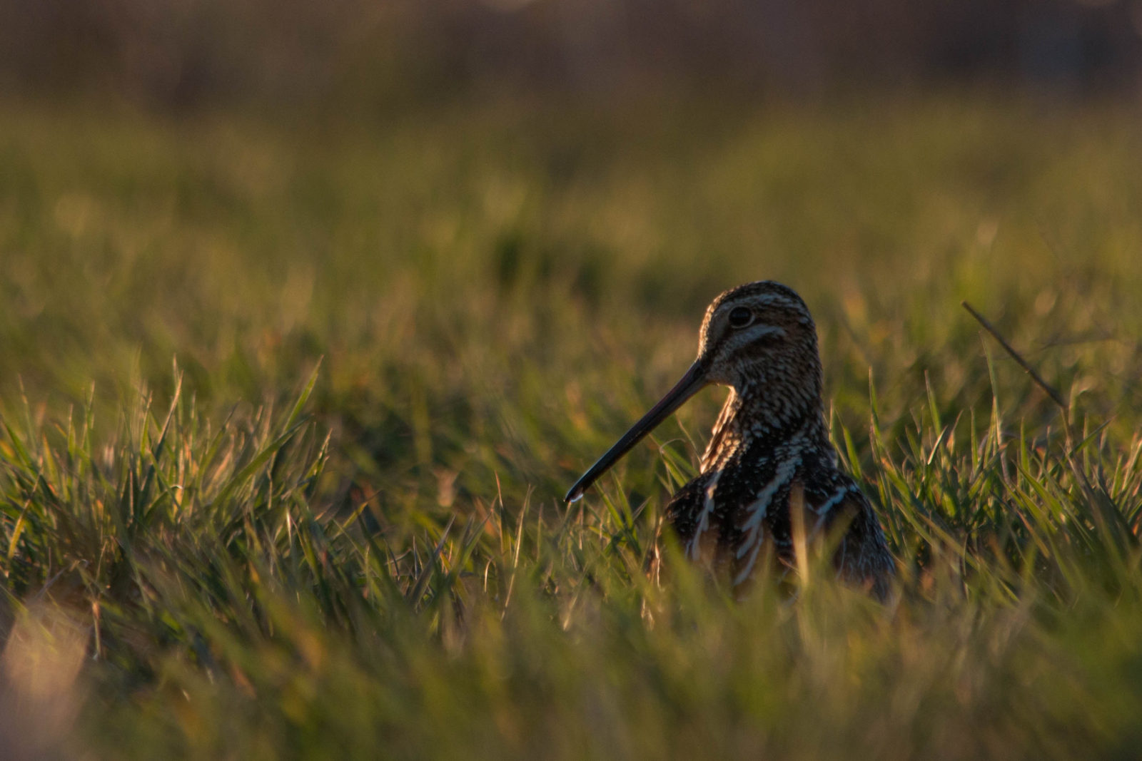 A Wilson's snipe foraging in a wetland (Ethan Freese)