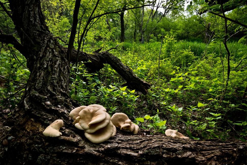 Big-Ear-Fungus-on-a-Down-Tree